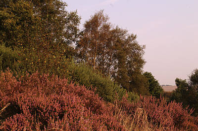 Heather And Trees On Hednesford Hills Poster by Adrian Wale