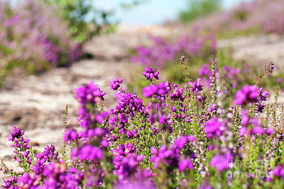 Heather - Calluna Vulgaris - In Flower In Summer Poster