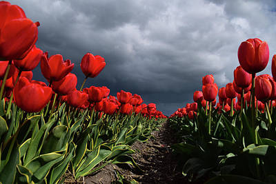 Heavy Clouds Over Red Tulips Poster by Mihaela Pater