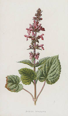 Hedge Stachys Poster by Frederick Edward Hulme