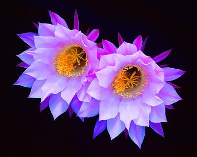 Hedgehog Cactus Flower Poster