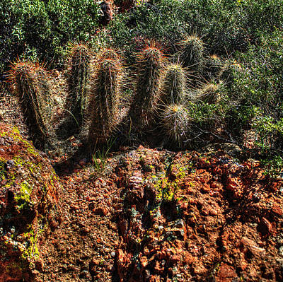 Hedgehog Cactus In Red Rocks Poster by Roger Passman