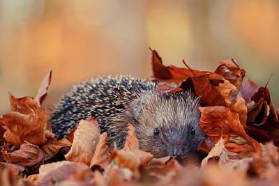 Hedgehog Hiding Poster