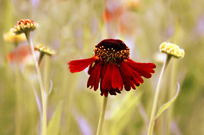 Helenium Dance Poster by Jessica Jenney
