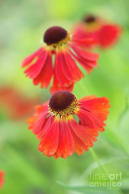 Helenium Moerheim Beauty Flowers Poster