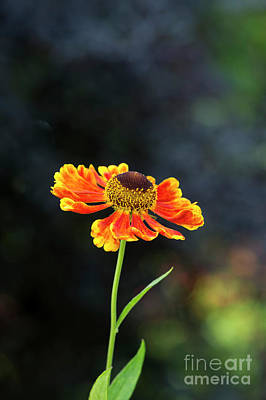Helenium Waltraut Poster by Tim Gainey