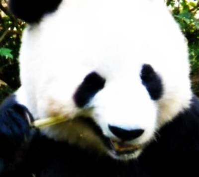 Hello Panda Poster