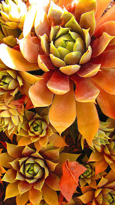 Hen And Chicks - Perennial Poster