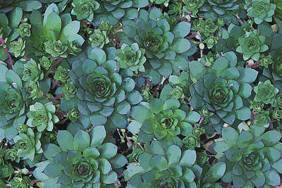 Hens And Chicks - Digital Art  Poster by Sandra Foster