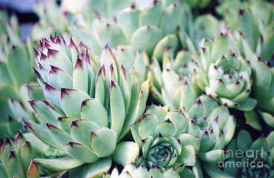 Hens And Chicks Plant Poster