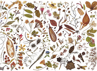 Herbarium Specimen Poster by Rachel Pedder-Smith