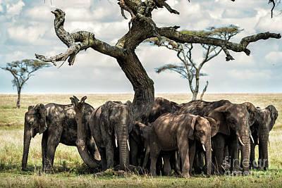 Herd Of Elephants Under A Tree In Serengeti Poster