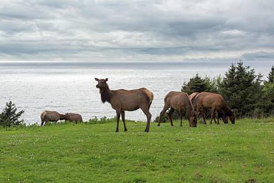Herd Of Elk At Ecola State Park Poster