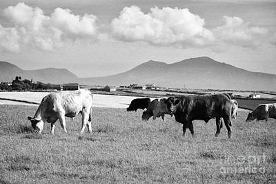 Herd Of Free Range Beef Cattle Anglesey North Wales Uk Poster