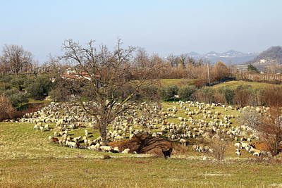 Herd Of Sheep Poster by Samantha Mattiello