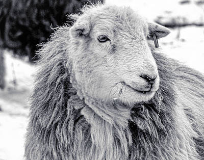 Herdwick Sheep Poster