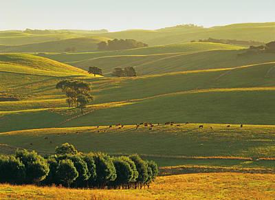 Herefords Grazing On Rolling Hills Near Korumburra In The Strzelecki Ranges, South Gippsland, Victoria, Australia Poster