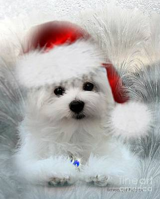 Hermes The Maltese At Christmas Poster by Morag Bates