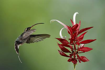 Hermit Hummingbird And Red Flower Poster by Juan Carlos Vindas