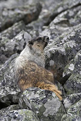 Heroic Hoary Marmot Poster by Royce Howland