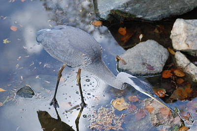 Heron Fishing Photograph Poster by Don  Wright
