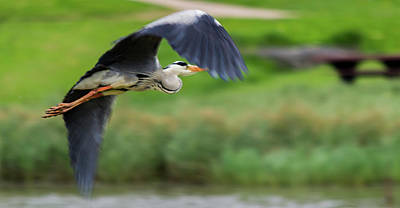Poster featuring the photograph Heron Flying Turning In Flight by Scott Lyons