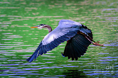 Heron In Flight At Honor Heights Park Poster by Tamyra Ayles