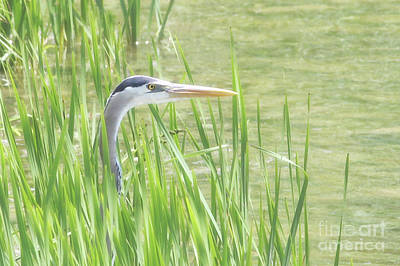 Heron In The Reeds Poster by Anita Oakley