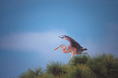 Heron In Tree Poster