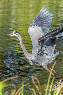 Poster featuring the photograph Heron Liftoff by Kate Brown