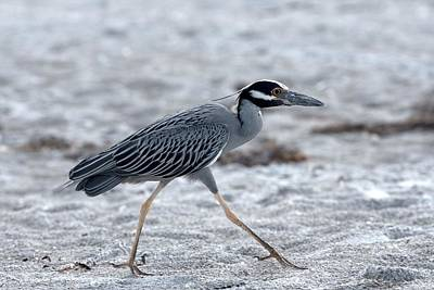 Yellow-crowned Night Heron On A Mission Poster