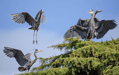 Herons Mating Dance Poster