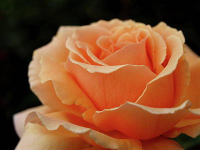 Hever Castle Peach Rose Poster
