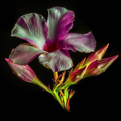 Hibiscus Buds Poster by Paul Freidlund