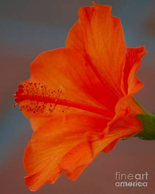 Hot Orange Hibiscus Poster