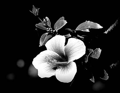 Poster featuring the photograph Hibiscus In The Dark by Lori Seaman