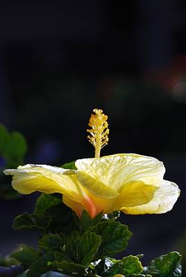 Poster featuring the photograph Hibiscus Morning by Debbie Karnes