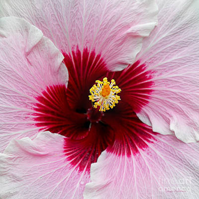 Hibiscus With Cherry-red Center Poster by Susan Wiedmann