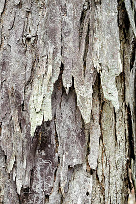 Poster featuring the photograph Hickory Tree Bark Abstract by Christina Rollo