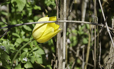 Hidden Yellow Tulip 02 Poster