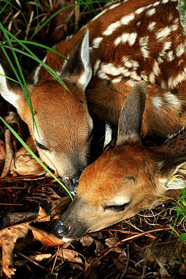 Hiding Twin Whitetail Fawns Poster by Michael Dougherty