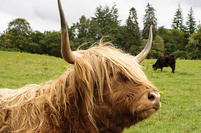 Poster featuring the photograph Highland Coo by Christi Kraft