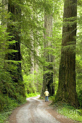 Hiker On A Road Through Redwoods Poster