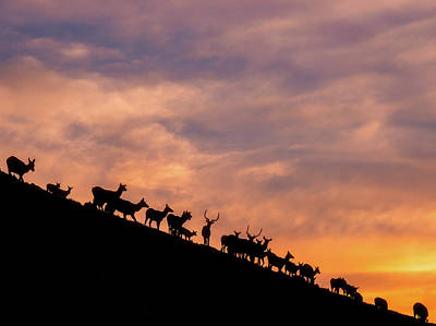 Hillside Elk Poster