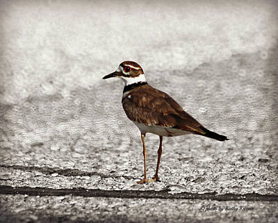 Hitch Hiking Killdeer Poster by Kathy M Krause