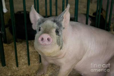 Hog In Its Pen Poster