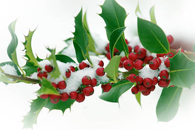 Poster featuring the photograph Holly Berries On White by Sharon Talson