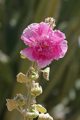 Hollyhock Poster by Laurel Powell
