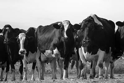 Curious Holsteins Poster