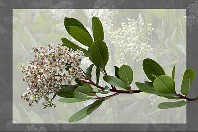 Heteromeles Arbutifolia - Toyon Poster